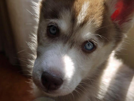 Laika the Siberian Husky Pictures 760006