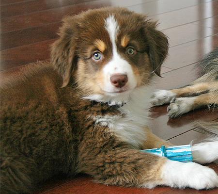Lancer the Australian Shepherd Pictures 940798