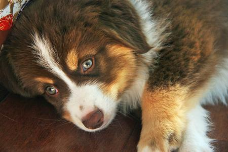 Lancer the Australian Shepherd Pictures 940801