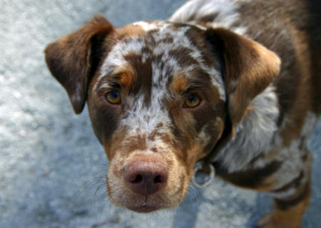 Lanie the Catahoula Leopard Dog Pictures 733137