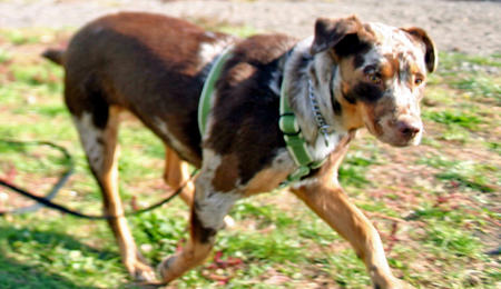 Lanie the Catahoula Leopard Dog Pictures 733138