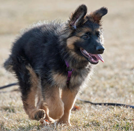Lara the German Shepherd Dog Pictures 959641