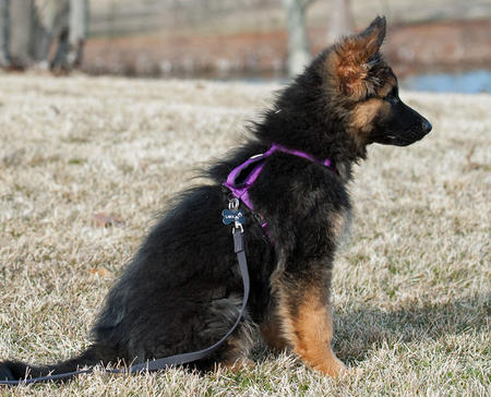 Lara the German Shepherd Dog Pictures 959644