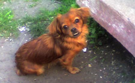 Lara the Pekingese Mix Pictures 1009537