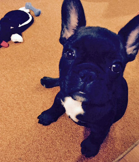 Larry the French Bulldog Pictures 1059632