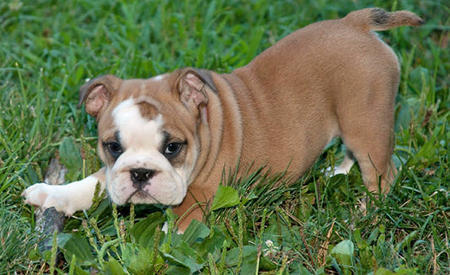 Layla the English Bulldog Pictures 1029297
