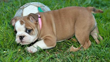 Layla the English Bulldog Pictures 1029298