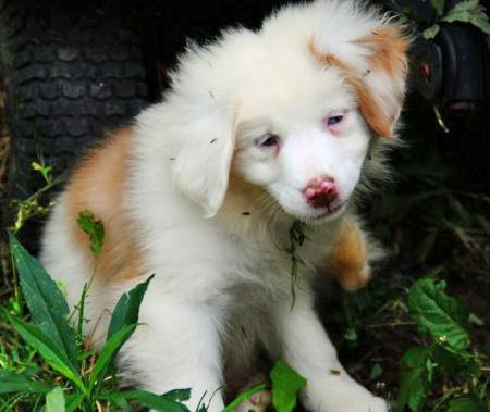 Leigan the Australian Shepherd Pictures 448853