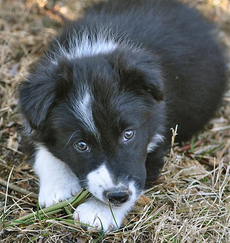 Lemmy the Australian Shepherd Pictures 889213