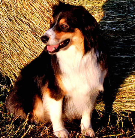 Leo the Australian Shepherd Pictures 621430