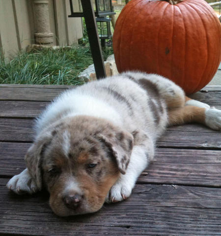 Leo the Australian Shepherd Mix Pictures 936170