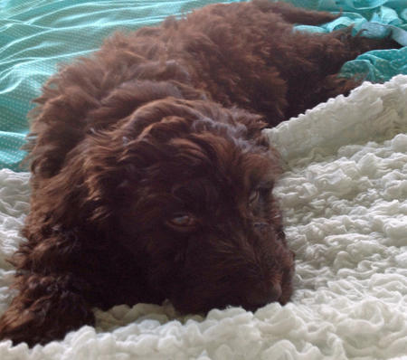Leo the Labradoodle Pictures 1054692