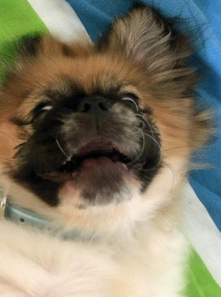 Leo the Pekingese  Pictures 1028333
