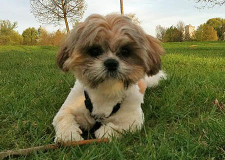 Leo the Shih Tzu Pictures 779836