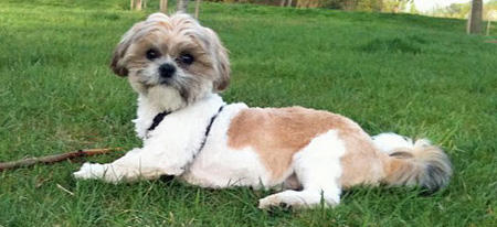 Leo the Shih Tzu Pictures 779837