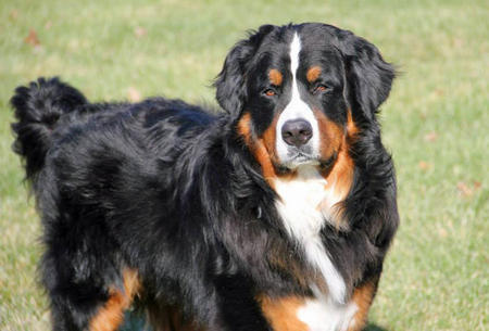 Lewis the Bernese Mountain Dog Pictures 1001148