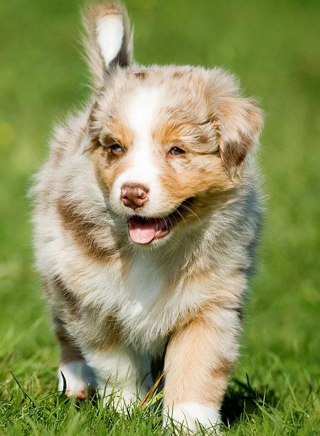 Lexan the Australian Shepherd Pictures 623956