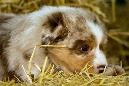 Lexan the Australian Shepherd Pictures 623946