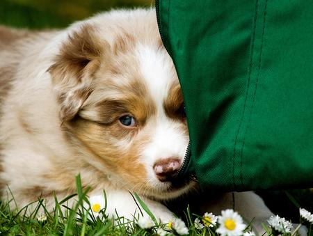 Lexan the Australian Shepherd Pictures 623947