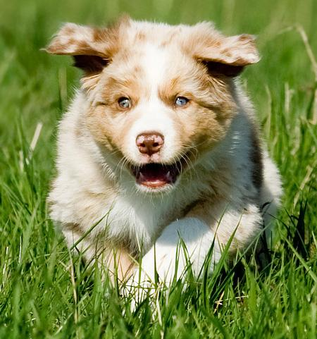 Lexan the Australian Shepherd Pictures 623953
