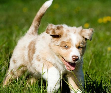 Lexan the Australian Shepherd Pictures 623955