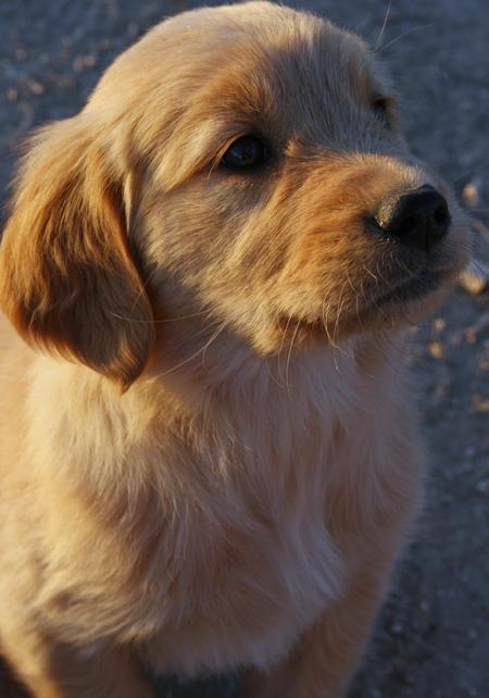 Lexi the Golden Retriever Pictures 482117
