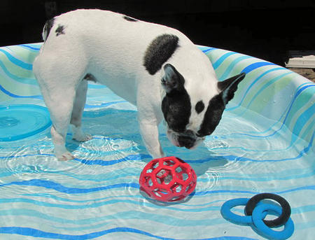 Lexie the French Bulldog Pictures 680626