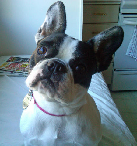 Lexie the French Bulldog Pictures 680624