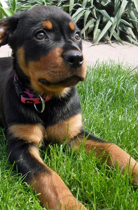 Lexie the Rottweiler Pictures 786254