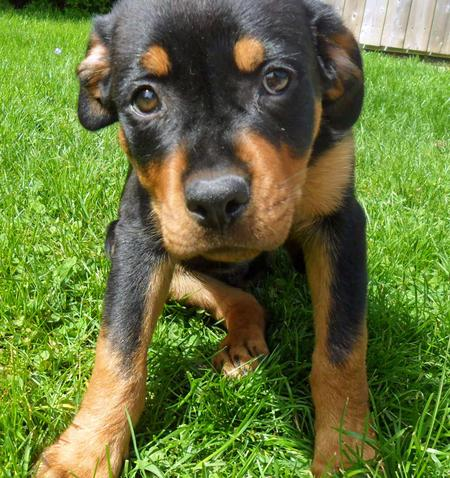 Lexie the Rottweiler Pictures 786255