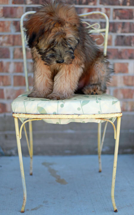 Liam the Soft Coated Wheaten Terrier Pictures 825582