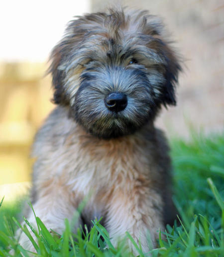 Liam the Soft Coated Wheaten Terrier Pictures 825583