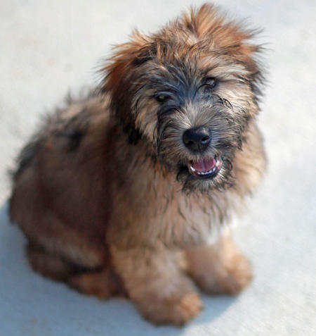 Liam the Soft Coated Wheaten Terrier Pictures 825584