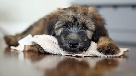 Liam the Soft Coated Wheaten Terrier Pictures 825585