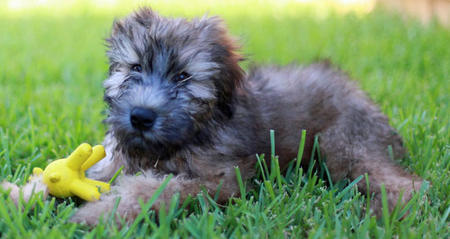 Liam the Soft Coated Wheaten Terrier Pictures 825586