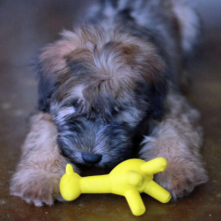 Liam the Soft Coated Wheaten Terrier Pictures 825587