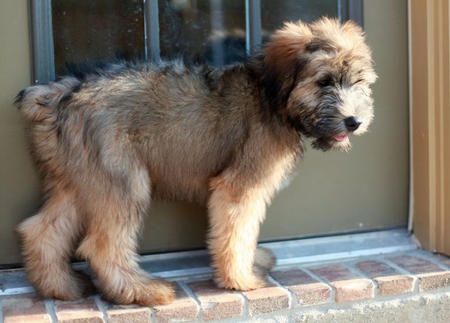 Liam the Soft Coated Wheaten Terrier Pictures 825589