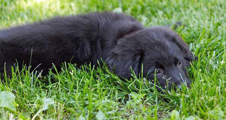 Lab Border Collie Mix Full Grown Images & Pictures - Becuo
