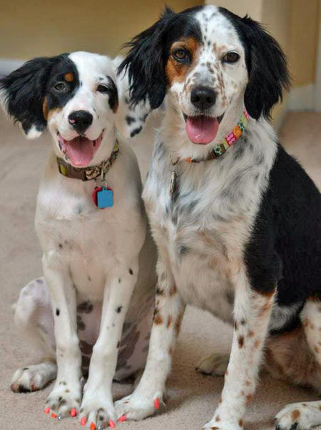 Lillian the English Setter Mix Pictures 945492