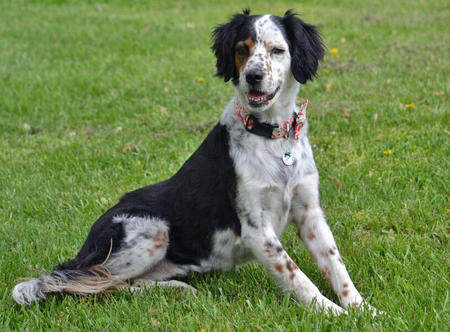 Lillian the English Setter Mix Pictures 945495