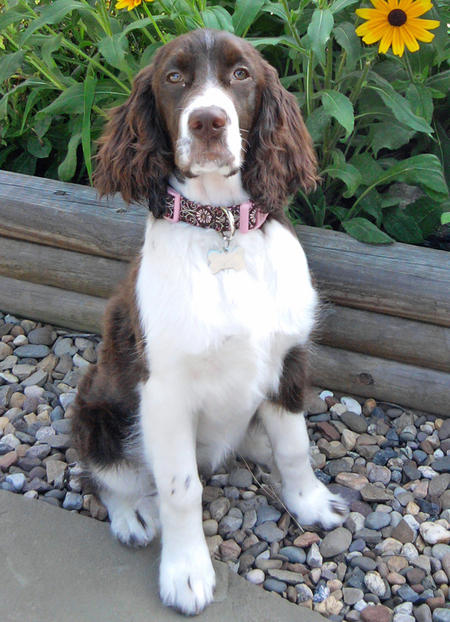 Lillie the English Springer Spaniel Pictures 1052028