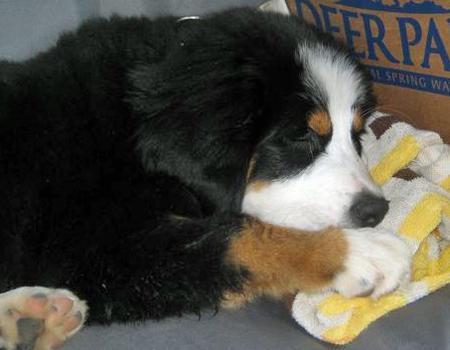 Lilly the Bernese Mountain Dog Pictures 481159