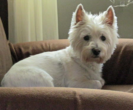 Lilly the West Highland Terrier Pictures 1005822