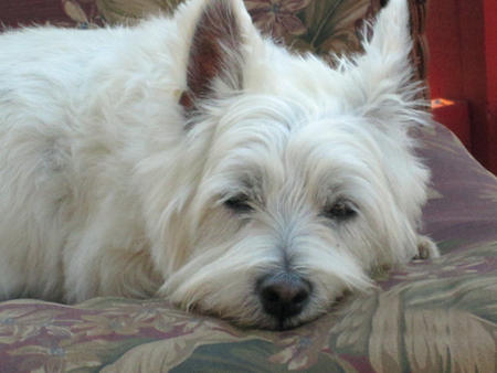 Lilly the West Highland Terrier Pictures 1005823