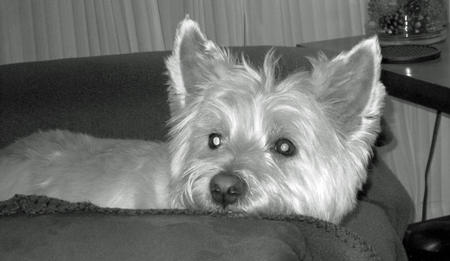 Lilly the West Highland Terrier Pictures 1005824