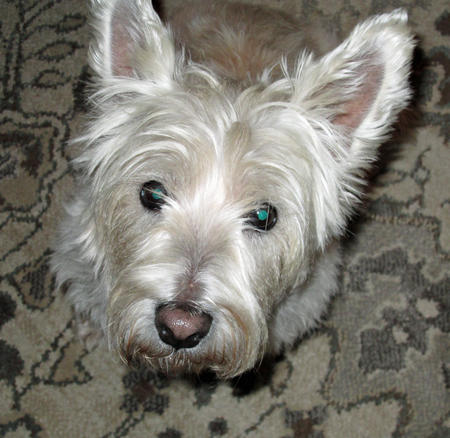 Lilly the West Highland Terrier Pictures 1005825