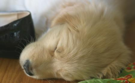 LiLu the Golden Retriever Pictures 781531