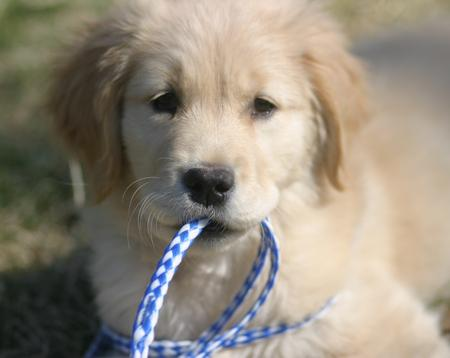 LiLu the Golden Retriever Pictures 781533