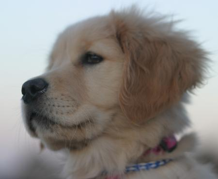 LiLu the Golden Retriever Pictures 781534