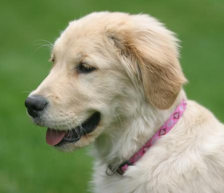 LiLu the Golden Retriever Pictures 781535